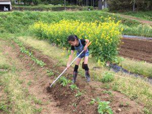 芽かきしたジャガイモ苗に土寄せ3