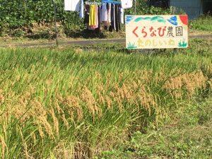 くらなび農園の稲